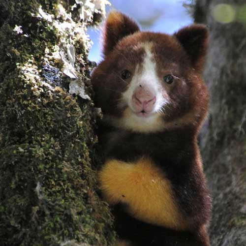 Tree Kangaroo Conservation in Papua New Guinea