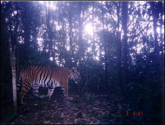 To protect or neglect? Design, monitoring, and evaluation of a law enforcement strategy to recover small populations of wild tigers and their prey